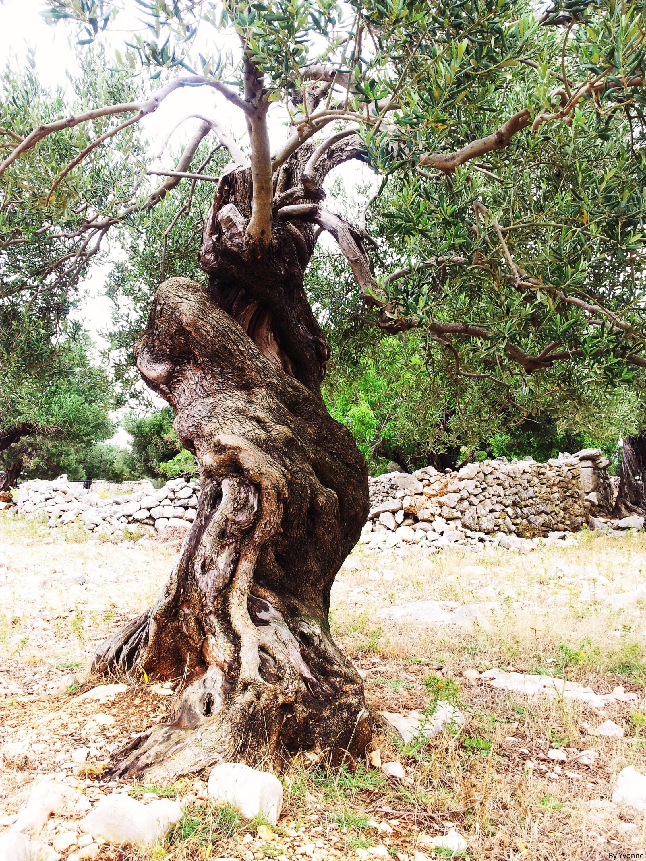olijfboom kroatië